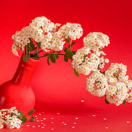 Vanhoutte Spirea flowers in a coral red vase by Cristina-Velina Ion