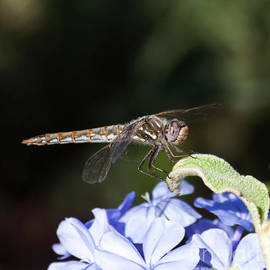 Variegated Meadowhawk dragonfly on purple flower   by Ruth Jolly