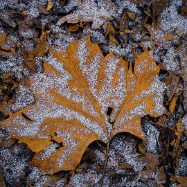 Jim Vecchione - Frost Covered Leaf in Winter