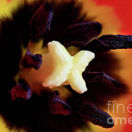 Tracy Hall - Velvet Tulip