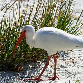 Venice Beach Ibis by Christiane Schulze Art And Photography