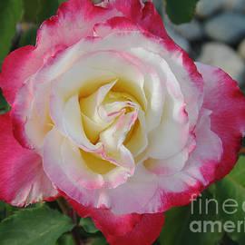 Debby Pueschel - Variegated Rose by the Rocks