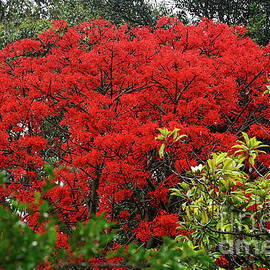 Vibrant Flame Tree by Kaye Menner