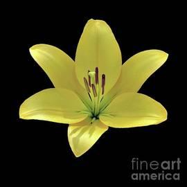 Elizabeth Duggan - VIbrant Yellow  Day Lily