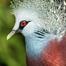 Don Johnson - Victoria Crowned Pigeon