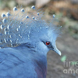 Judy Whitton - Victoria Crowned Pigeon