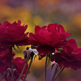 Richard Cummings - Vintage Aug Red Roses