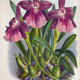 Joy of Life Gallery - Vintage Orchids No.9 Lindenia Collection of 1887