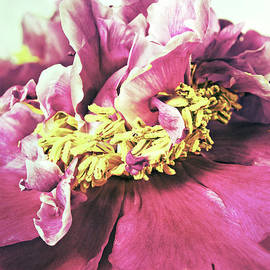 Vintage Peony by Angela Doelling AD DESIGN Photo and PhotoArt