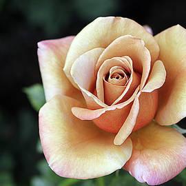 Susan Campbell - Vintage Rose