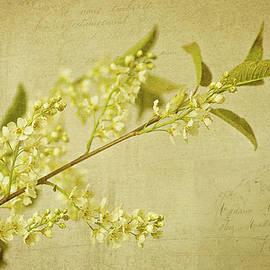 Robert Murray - Vintage wild cherry blossom