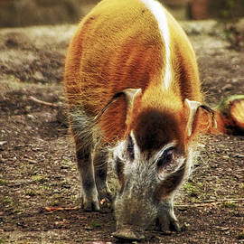Red River Hog  by Doc Braham
