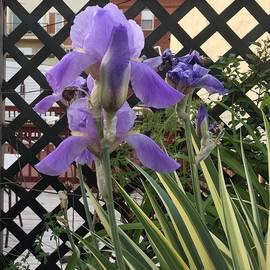 Vuloptous Iris Blooming by Kenlynn Schroeder