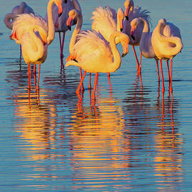 Inge Johnsson - Wading Flamingos