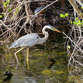 Wading Heron by Bob Phillips
