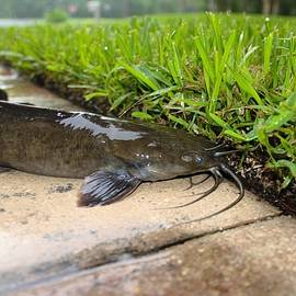 Don Columbus - Walking Catfish