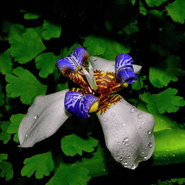 George Bostian - Walking Iris - Neomarica candida 033