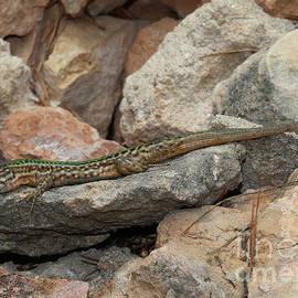 Wall Lizard Ibiza by Eddie Barron