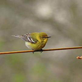 Warbler On The Line by Debbie Oppermann