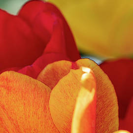 Warm Tulip Palette by Stephen Barrie