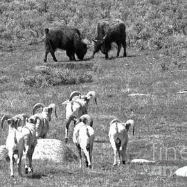 Watching The Bison Brawl Black And White by Adam Jewell