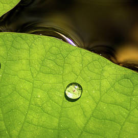 Don Johnson - Water Drops on Lily Pad