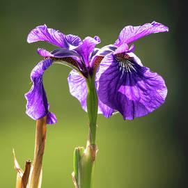Jack Milton - Water Iris