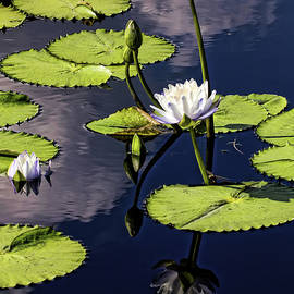 Judy Vincent - Water Lilies With Reflection