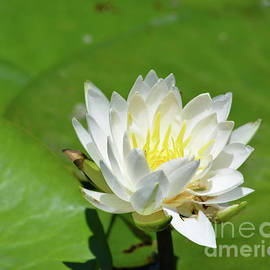 Ruth Housley - Water Lily 2