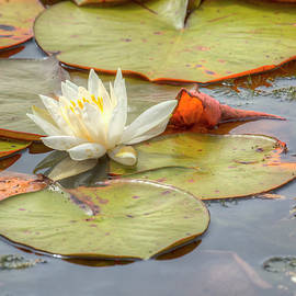 Kristina Rinell - Water Lily II