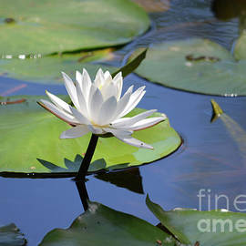 Ruth Housley - Water Lily In Bloom