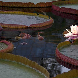 Sally Weigand - Water Lily Lighted