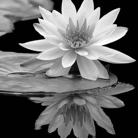 Water Lily Reflections I