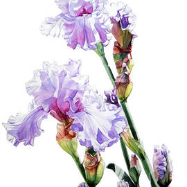 Watercolor Of A Tall Bearded Iris I Call Lilac Iris Wendi by Greta Corens