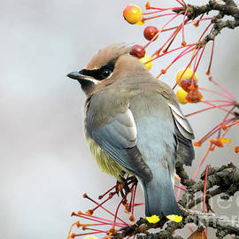 Waxwing Lunch - Mike Dawson