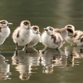 Roeselien Raimond - We Are Family - Seven Egytean Goslings in a Row