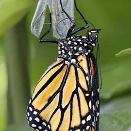 Welcome To The World A Newly Emerged Monarch Butterfly by Olga Hamilton