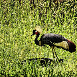 Judy Vincent - West African Crowned Crane