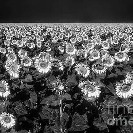 West Texas Sunflower Field 2 by Bob Phillips