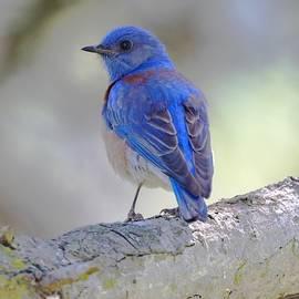 DUG Harpster - Western Bluebird on a Limb