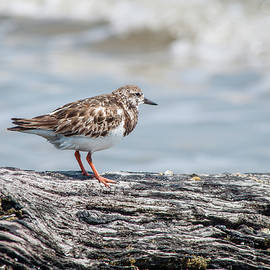 Western Sandpiper by Andrew Wilson