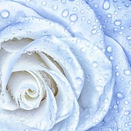 Wet Rose by Sandi Kroll