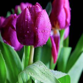 Tracy Hall - Wet Tulips