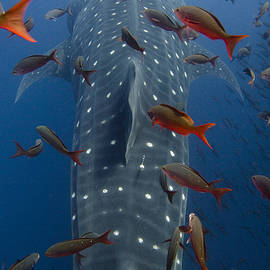 Whale Shark Galapagos Islands by Pete Oxford
