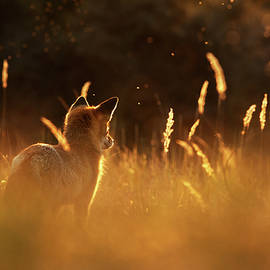 Roeselien Raimond - What Does the Fox Think - Red Fox at Sunset