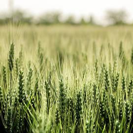 Wheat Field by Wolfgang Stocker
