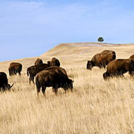 Where The Buffalo Roam by Larry Ricker