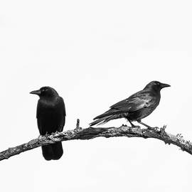 Which Way Two Black Crows on White Square