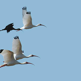 White and Glossy Ibis by Mark Fuge