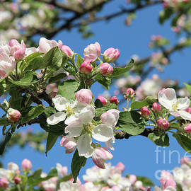 Kerstin Ivarsson - White and pink apple blossom, closeup against a blue sky.